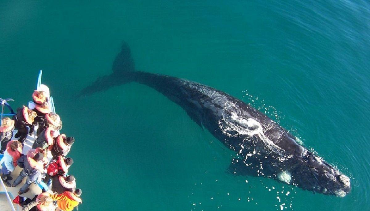 Nuevo récord de ballenas en Península Valdés