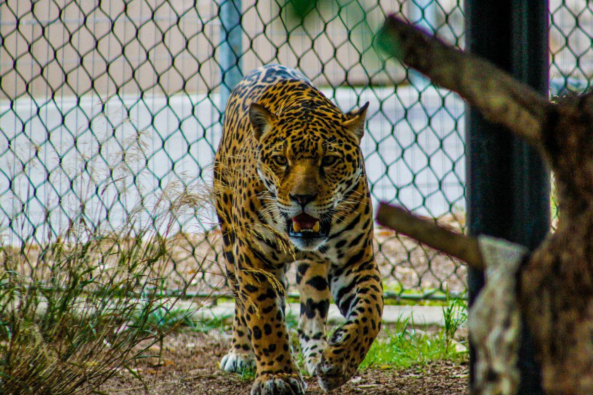 Un jaguar estuvo varias horas perdido tras escaparse del zoológico de Mérida