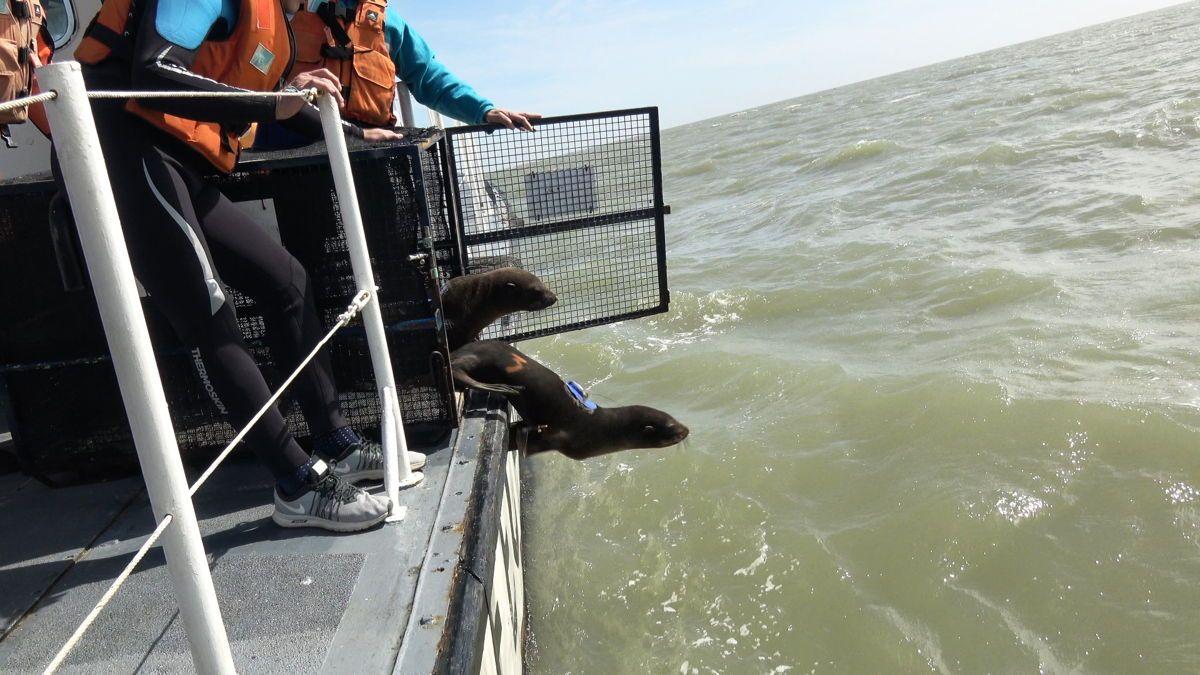 Los lobos marinos fueron equipados con dispositivos que permitirán descubrir qué sucede con su alimento