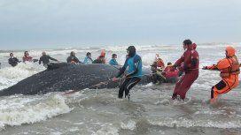 Ballena varada en Mar del Tuyú - Crédito: Mundo Marino