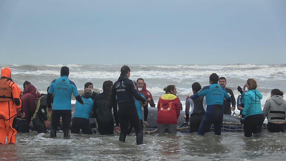 Liberaron a la ballena que estaba encallada hace dos días en Mar del Tuyú
