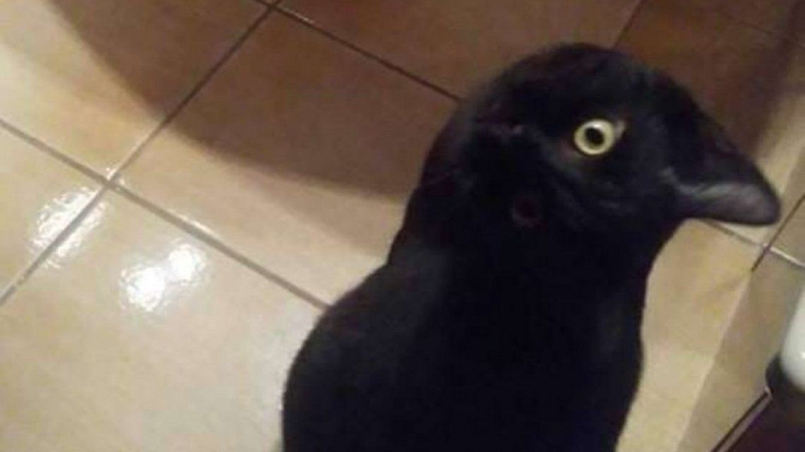 Todos dudan si se trata de un gato o un cuervo