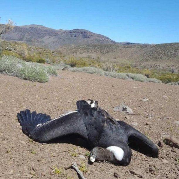 Crédito: Facebook Programa Conservación Cóndor Andino