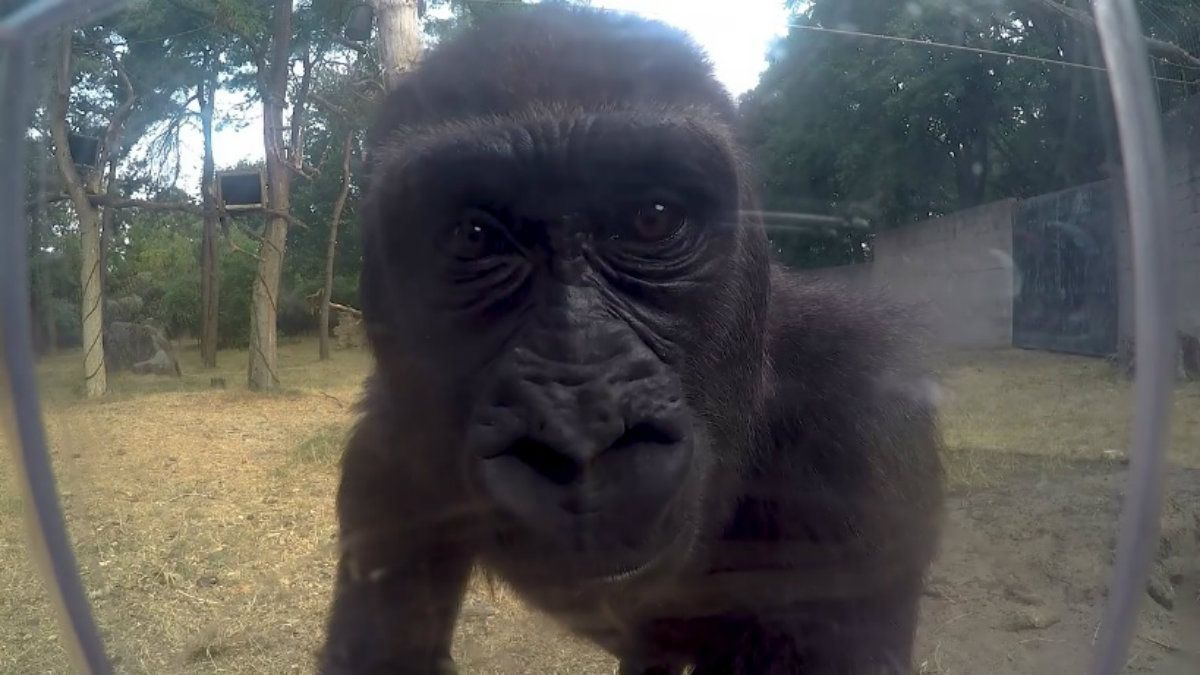 Dos gorilas se divirtieron viendo cómo desmontar la cámara Go Pro