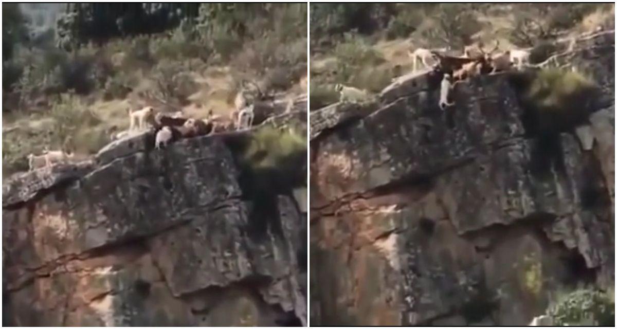 VIDEO: Doce perros y un ciervo caen al vacío en medio de una cacería