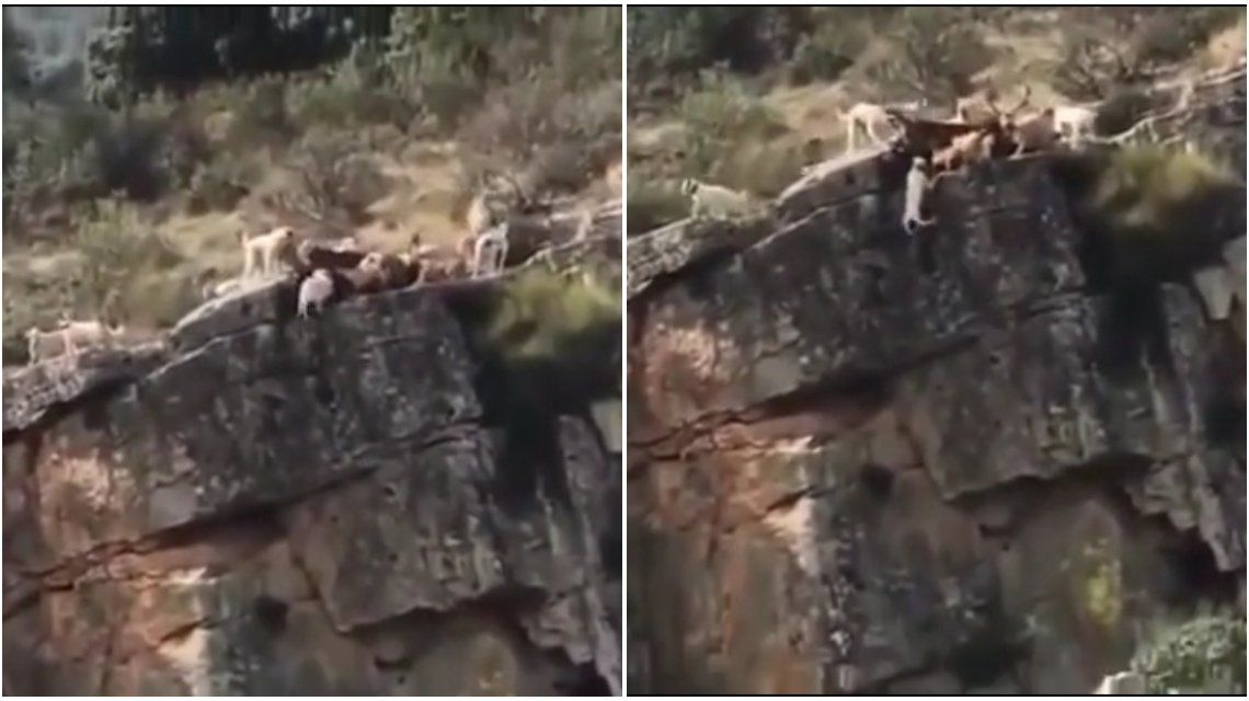 ¡Pobrecitos!| Doce perros y un ciervo caen al vacío en medio de una cacería