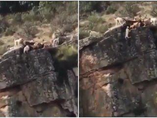 video: doce perros y un ciervo caen al vacio en medio de una caceria