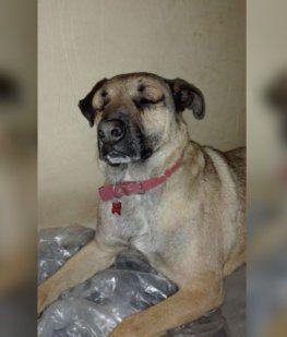 Un perro salvó a un nene de ser mordido por una yarará y casi muere
