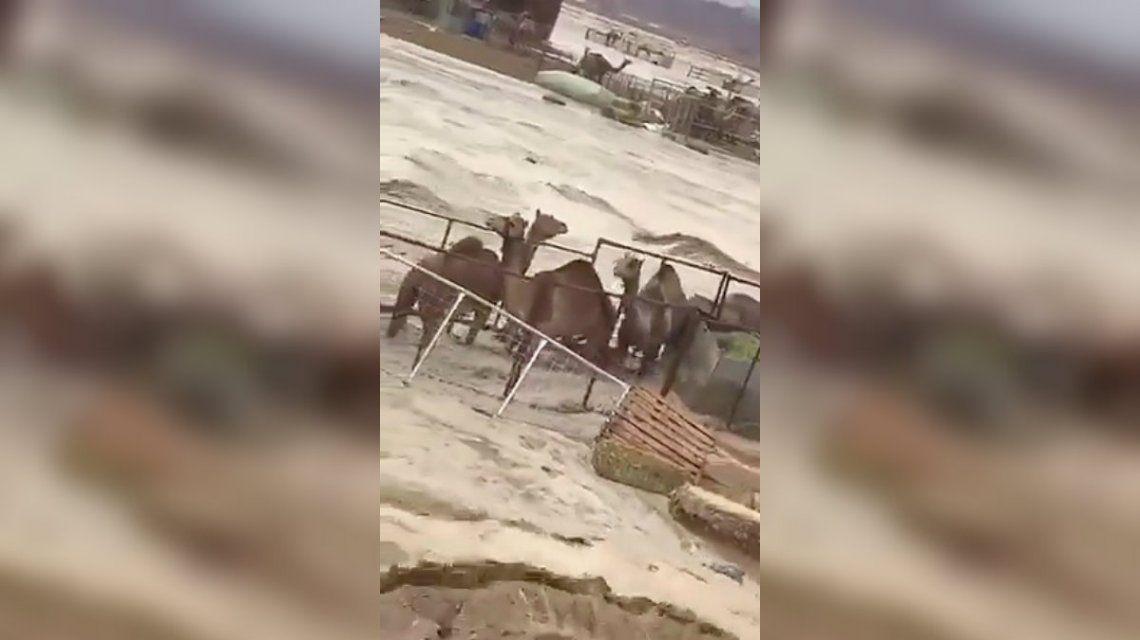 VIDEO: Un grupo de camellos la pasa mal por una inundación en el desierto