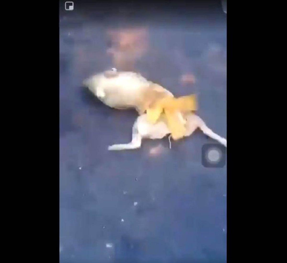 VIDEO: Hinchas de River revolearon a un lechón muerto en Libertador