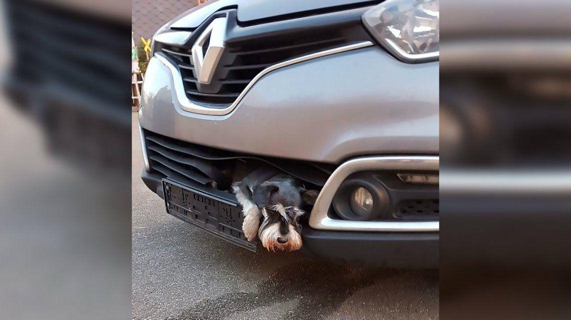 Un perro viajó 20 kilómetros atorado en la parrilla de un auto