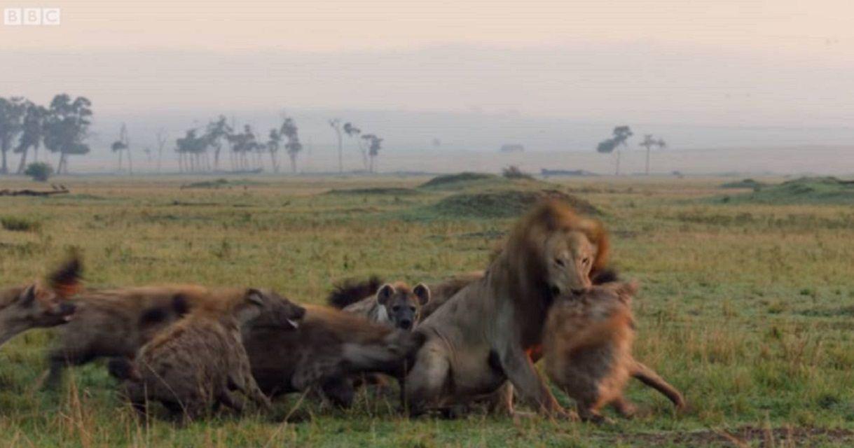 Un león, 20 hienas hambrientas y un héroe inesperado: el video viral que conmueve a todos