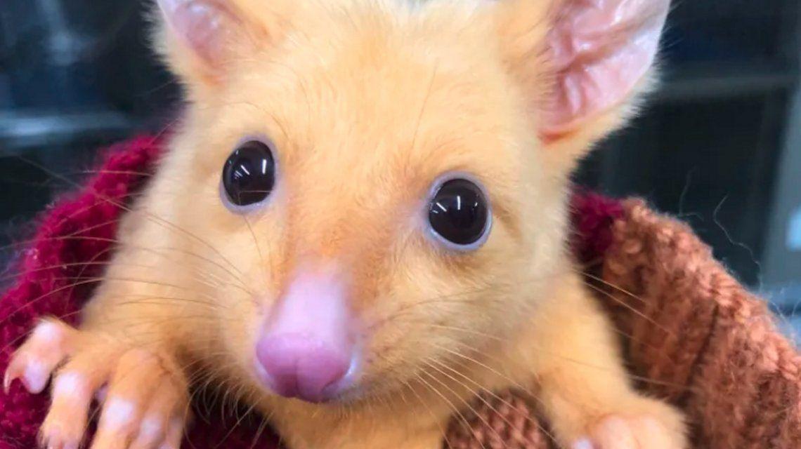 El hallazgo más esperado: encontraron un Pikachu real en Australia