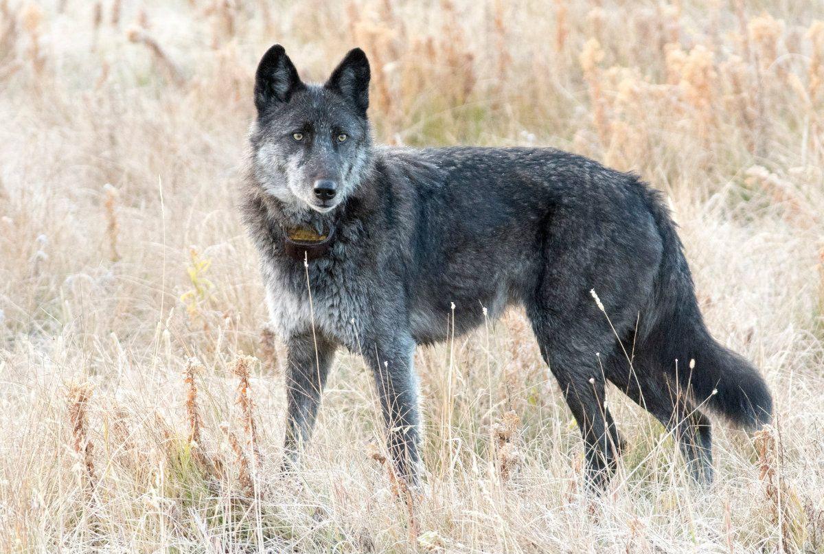 Un cazador mató a la loba más famosa del Parque Yellowstone