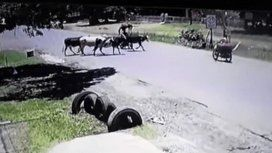 Una vaca le pegó una patada voladora a una motoquera