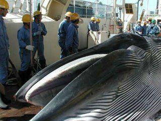 es oficial: japon volvera a cazar ballenas para su consumo comercial