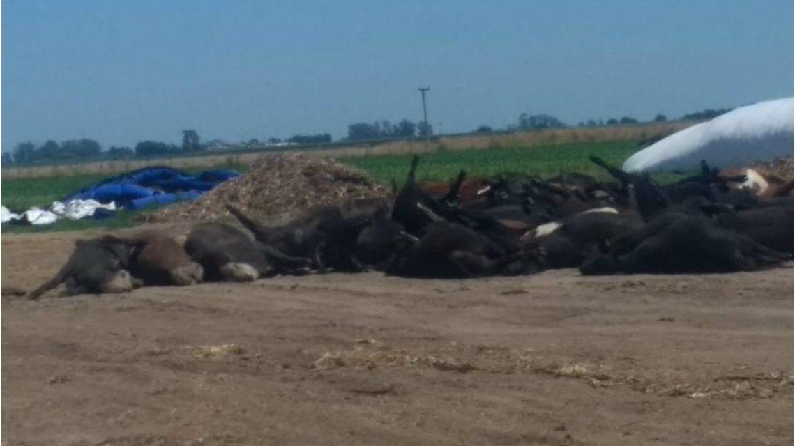 Unos mil novillos aparecieron muertos en feedslots de Santa Fe