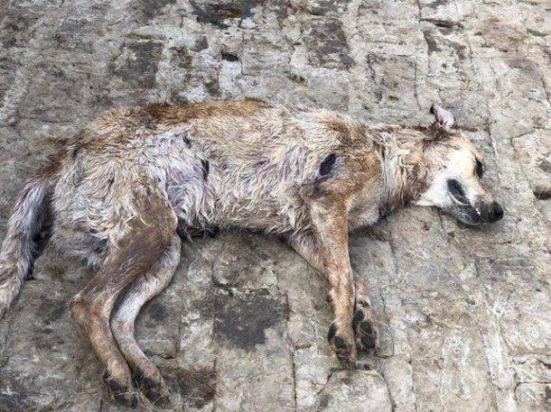 Perros muerto en Chivilcoy - Crédito: Proyecto Galgo Argentina
