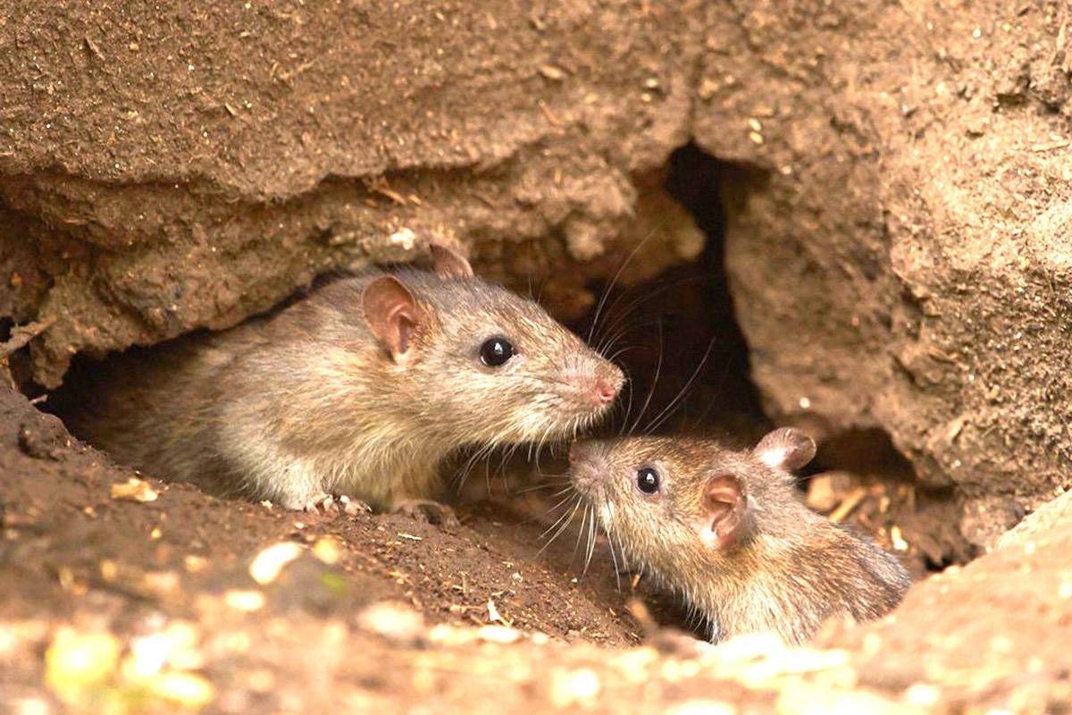 Las ratas son las transmisoras del hantavirus