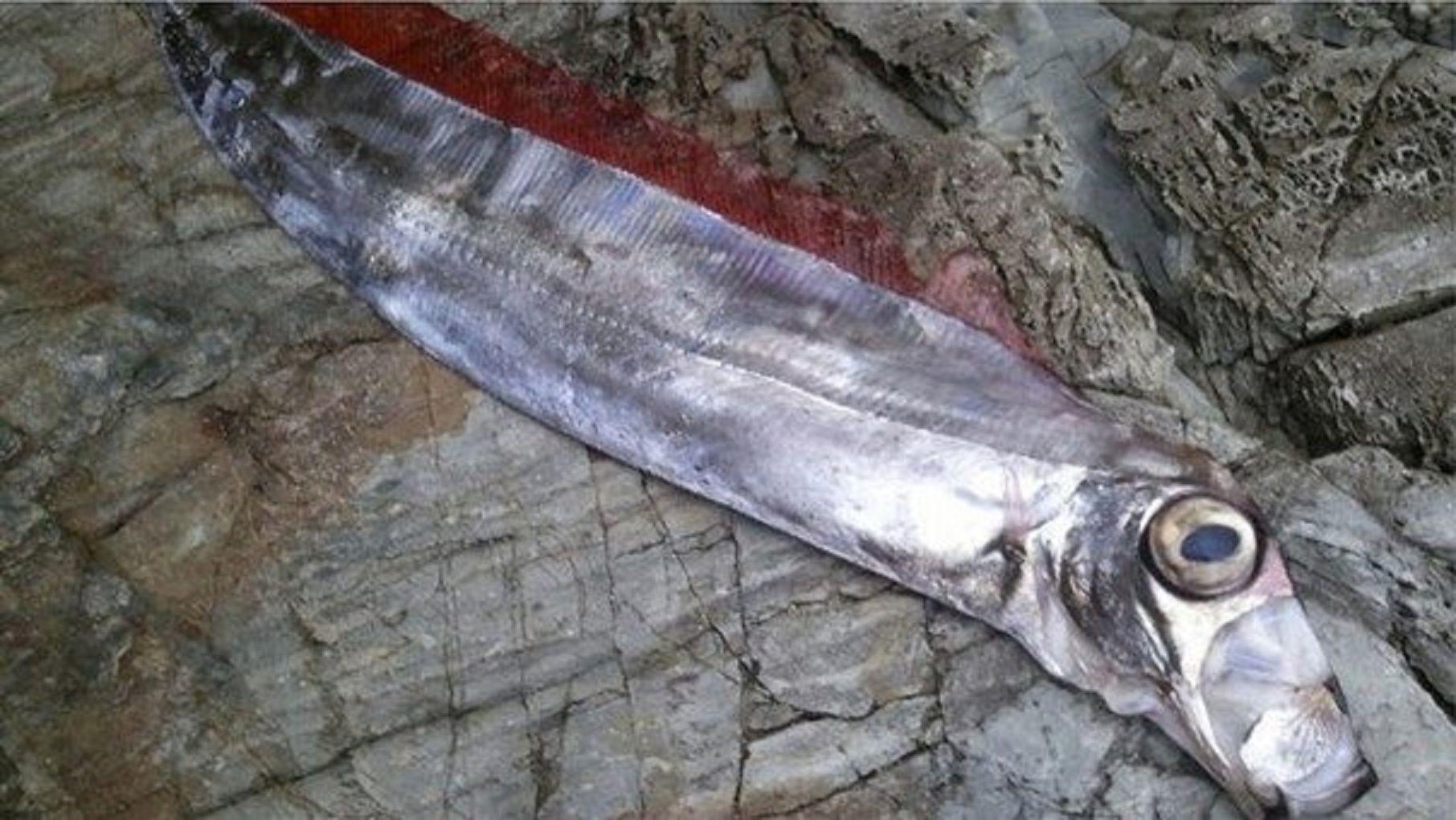 Japón: aparecieron peces remo y creen que habrá terremotos y tsunamis