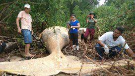 Apareció una ballena en el Amazonas: ¿cómo llegó allí?