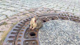 Una rata gorda se hizo viral cuando quedó atascada en una alcantarilla