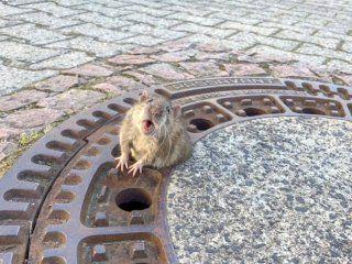 una rata gorda se hizo viral cuando quedo atascada en una alcantarilla