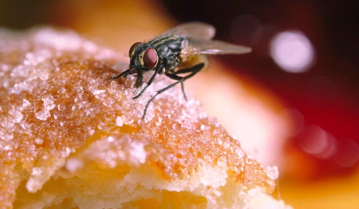 ¿Es riesgoso comer un alimento donde se paró una mosca?
