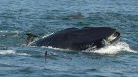 ¡Increíble! Una ballena se tragó a un fotógrafo y después lo devolvió vivo