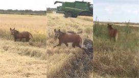 VIDEO: Sorpresa por la aparición de dos aguará guazú