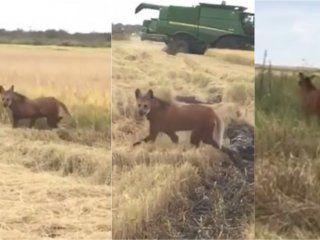 video: sorpresa por la aparicion de dos aguara guazu, animales en peligro de extincion