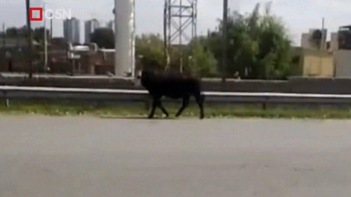 Temor y estupor por una vaca suelta en plena autopista Buenos Aires - La Plata