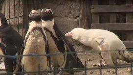 VIDEO: El extraño caso del pingüino albino