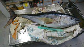 El atún azul del sur fue víctima de la contaminación