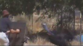 Un hombre murió asesinado por su mascota, el pájaro más peligroso del mundo