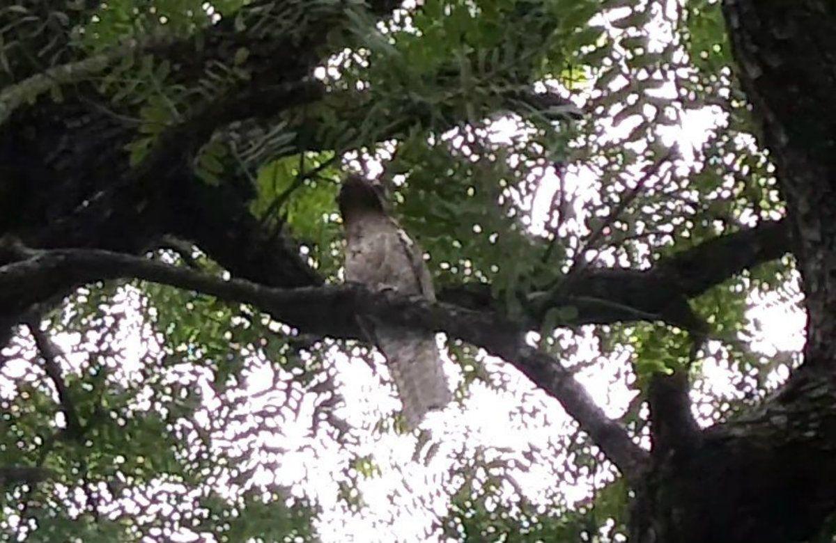 Sorpresa en Santiago del Estero por la aparición de un kakuy, un ave muy particular