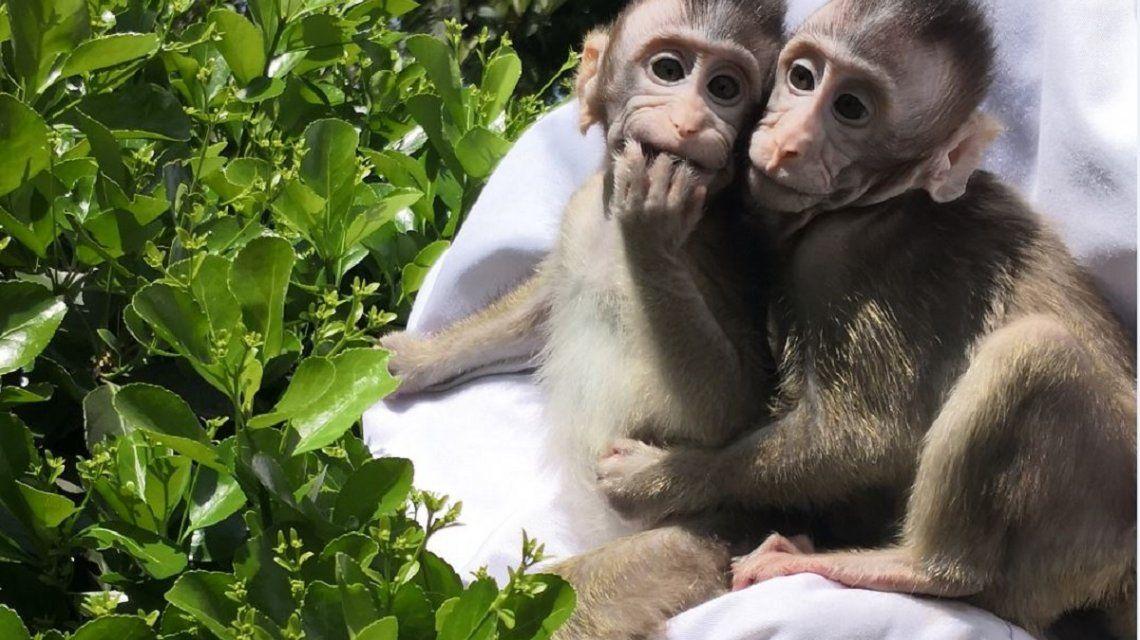 Implantaron genes humanos a un grupo de monos y encontraron sorprendentes cambios