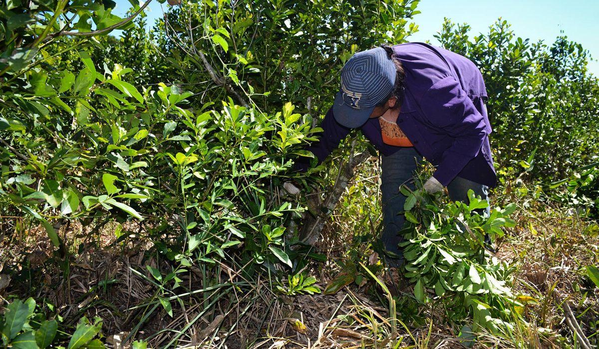El drama de los tareferos de Misiones: cobran $1,5 por cada kilo de yerba que cosechan