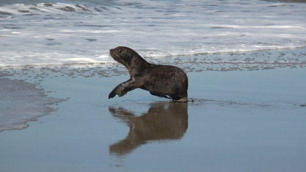 El lobo marino ya está en su hábitat