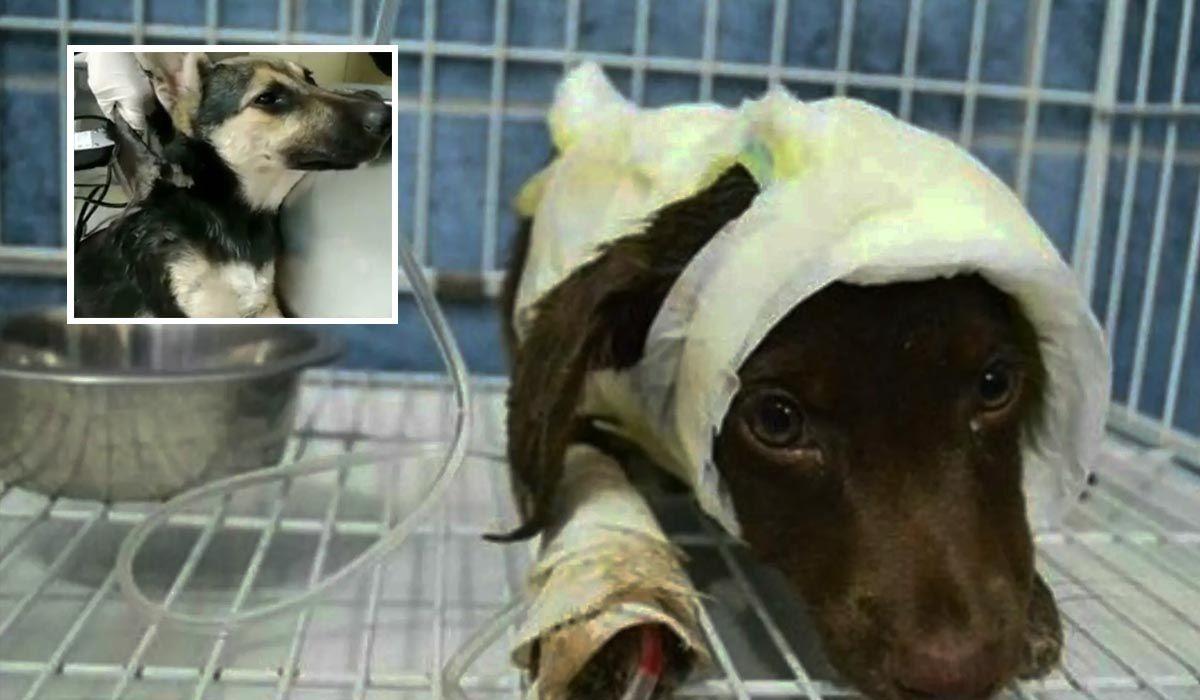 Maltrato animal: despellejaron a una cachorra como hicieron con Chocolate