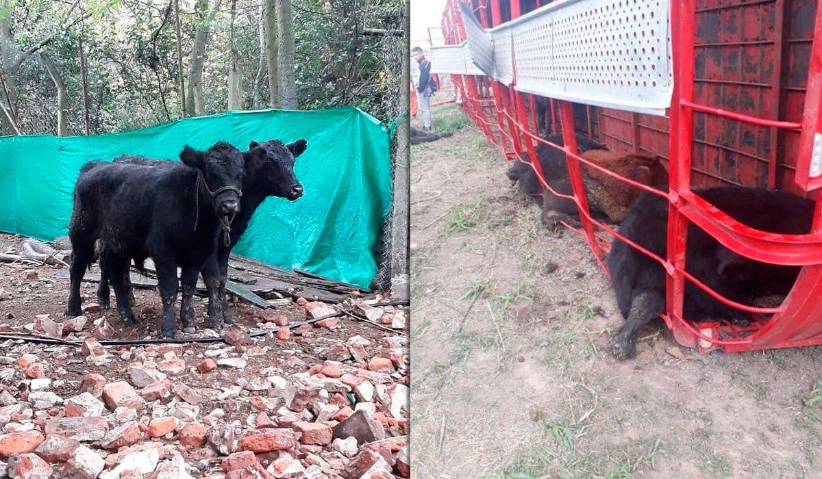 Otra vez volcó un camión con terneros y los carnearon en la ruta: Algunos tenían 3 meses y el tamaño de un perro