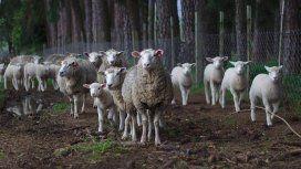 De no creer: inscribieron a ovejas en una escuela de Francia para evitar su cierre
