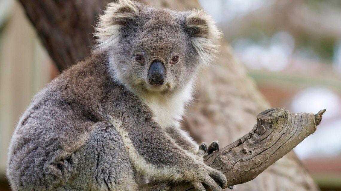 Australia: el koala fue declarado funcionalmente extinto