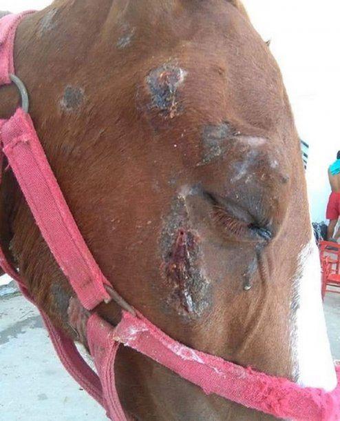 Gregorio, uno de los animales rescatados por Mi reino por un caballo. Allí trabajan Laura y Jésica, asistiendo a los caballos, reeducándolos y limpiando el predio.  <br>