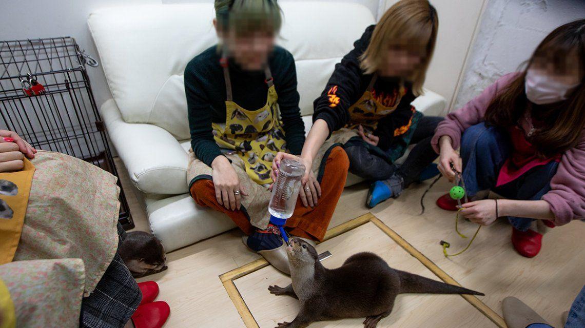 Maltrato animal en Japón: exhiben nutrias en cafés para que los clientes se saquen fotos