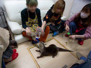 maltrato animal en japon: exhiben nutrias en cafes para que los clientes se saquen fotos