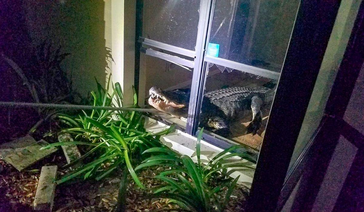 Estaba durmiendo y la despertó un enorme cocodrilo que se había metido en la cocina
