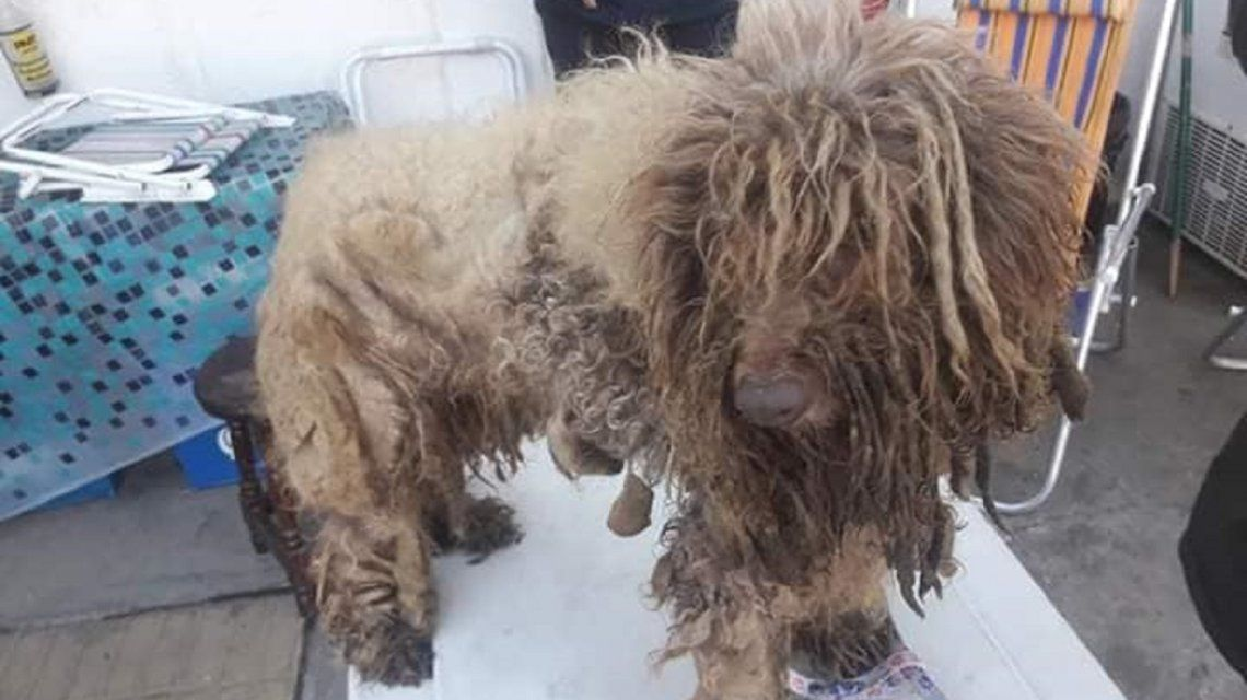 Tortura animal: 13 caniches fueron rescatados de un criadero clandestino en condiciones deplorables