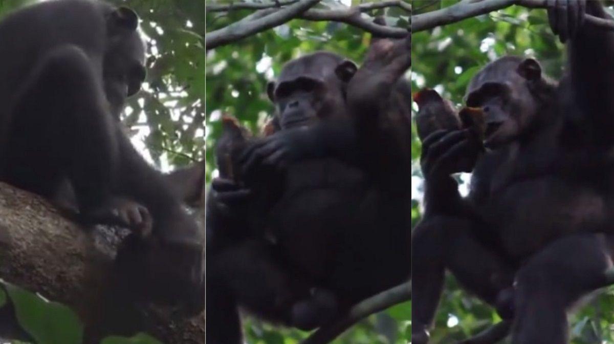 VIDEO: Un grupo de chimpancés sorprendió comiendo carne de tortuga