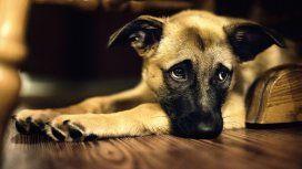 Habrían descubierto por qué los perros hacen la tierna mirada triste